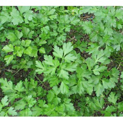 FRESH PARSLEY 100 gr